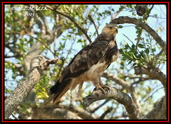 TAWNY EAGLE (Aquila rapax)......MASAI MARA......SEPT,2015 (M Z Malik) Tags: africa nikon kenya wildlife ngc safari kws masaimara d3x exoticafricanbirds exoticafricanwildlife 200400mm14afs