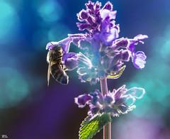 Busy bee...Part III (roland_lehnhardt) Tags: flowers blue macro nature up animals bug insect tiere dof close purple action bokeh pov magic natur pflanzen violet blumen move bee makroaufnahme pollen blau makro blte nahaufnahme insekten biene violett schrfentiefe bltenblatt apoidea tiefenschrfe unschrfe anthophila eos60d actionfotografie