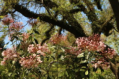 mountain laurel under the shady live oaks (Glenna Barlow) Tags: flowers trees sc nature garden spring flora southcarolina plantation mountainlaurel springtime waveringplace