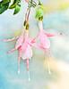 Garden Ballerinas (Andrea Mazzotta) Tags: pink flowers garden nikon textures manhattanbeach flypaper fuchsias d3x kimklassen texturetuesdays