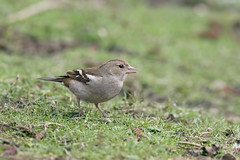 Chaffinch (johnthistle) Tags: maple lodge