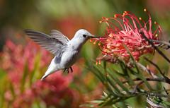 Leucistic Anna's Hummingbird (Thy Photography) Tags: flowers bird nature animal canon photography backyard hummingbird outdoor wildlife nectar fullframe avian annashummingbird canon600mmf4 canoneos1dx leucisticannashummingbird