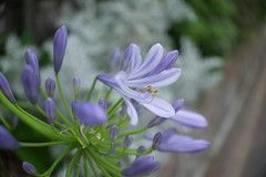 20160616-R0043439 (nut_cookie) Tags: flowers closeup agapanthus macrophotography