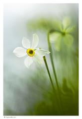 Narcisse des potes (Laurette.C) Tags: nature fleur m42 prairie narcisse amaryllidaceae narcissuspoeticus natura2000 narcissedespotes pentacon135mm