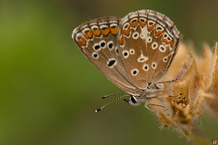 Aricia agestis (Rinaldo R) Tags: macro nature animal closeup butterfly insect focus naturallight stack lepidoptera stacking canonmpe mpe lycaenidae handhled canon6d licenide