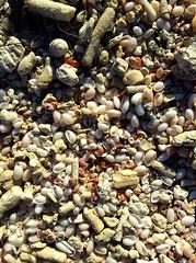 Sea shells (daach14@sbcglobal.net) Tags: sea sheshells outdoor photo dominicanrepublic nature sun sand
