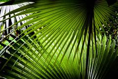 Palm Leaf // Palmblatt (WODKA & CAMERAS) Tags: green leave texture water leaves contrast leaf high wasser natur surface grn waterdrops blatt kontrast bltter palme plam wassertropfen tropfen oberflche textur hoher palmblatt