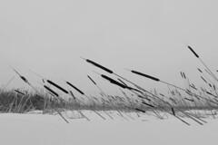 battlefield II (Mindaugas Buivydas) Tags: winter bw mood moody february lithuania lietuva sadnature nemunodeltosregioninisparkas skirvyt skirvyte nemunasdeltaregionalpark