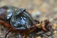 (9) Detalle frontal de cabeza y trax de un macho (artropod.bio6q (Francesc Caralt Rafecas)) Tags: cabeza macho imago adulto trax oryctesnasicornis escarabajorinoceronte