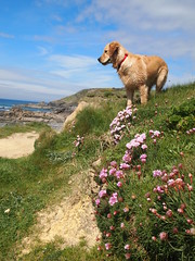 On Top of the World (Andrew Buck) Tags: sea church puppy golden cornwall cove retriever thrift wiggins gunwalloe