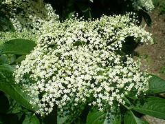 Sambuco. (Aldo433) Tags: flowers italy italia natura fiori piante abruzzo ortona sambuco