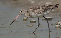 Godwit (jimmyedmonds) Tags: panoramafotografico