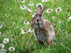 ready to chomp (natureburbs) Tags: rabbit bunny grass eating wildlife backyardwildlife dandilions newjerseywildlife