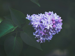 lilac (Kally Ua) Tags: park flowers flower beautiful garden 50mm spring nikon lilac delicate 18d lilacbush d7000