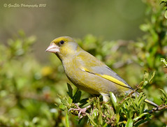 Bright Eyes (GemElle Photography) Tags: green bird nikon finch greenfinch gemelle sigma50500 d600 gemelle1