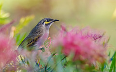 Yellow faced Honeyeater 1 (caralan393) Tags: