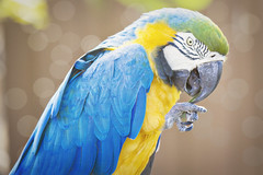 B and G (Inside The Hive Photography) Tags: macaw gatorland bluegoldmacaw