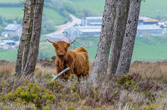 Gateway to (devonteg) Tags: nikon may pines gateway calf highlandcattle exmoor odc highlandcow eartags 2013 70300mm4556vr d7000 heelancoos ourdailychallenge stokeplantation newlyrebuiltbarnsafterthefire