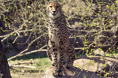 Cheetah portrait. (Raveniith) Tags: wild portrait nature beautiful animal tongue cat zoo spring big sweden wildlife teeth cheetah
