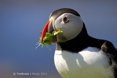 A spot of weeding (TimBrook | Photo) Tags: scotland weed nest puffin nesting lunga