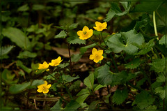 Creeping Buttercup (bobspicturebox) Tags: flowers wild dog sun cup robin evening buttercup tea song sparrow tulip garlic mustard foxes flytipping creeping thrush ramson cuckooflower afternnoon soapwort vixon jackinthehedge