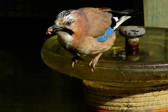 The Jay (peterdouglas1) Tags: jay peanuts gardenbirds