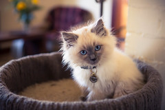 Bernie (thomp88(chasethemoments)) Tags: pets cute up animals cat canon photo kitten close young adorable 5d ragdoll 5dm3 chasethemoments