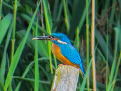 "Kingfisher • <a style=""font-size:0.8em;"" href=""http://www.flickr.com/photos/53908815@N02/9203172988/"" target=""_blank"">View on Flickr</a>"
