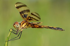 Halloween Pennant (Jennifer Witherspoon) Tags: dragonfly halloweenpennant