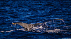 Whale Tail (Rod Gotfried Photography) Tags: water animal canon bay wildlife watching australia nelson nsw whale dslr 550d t2i