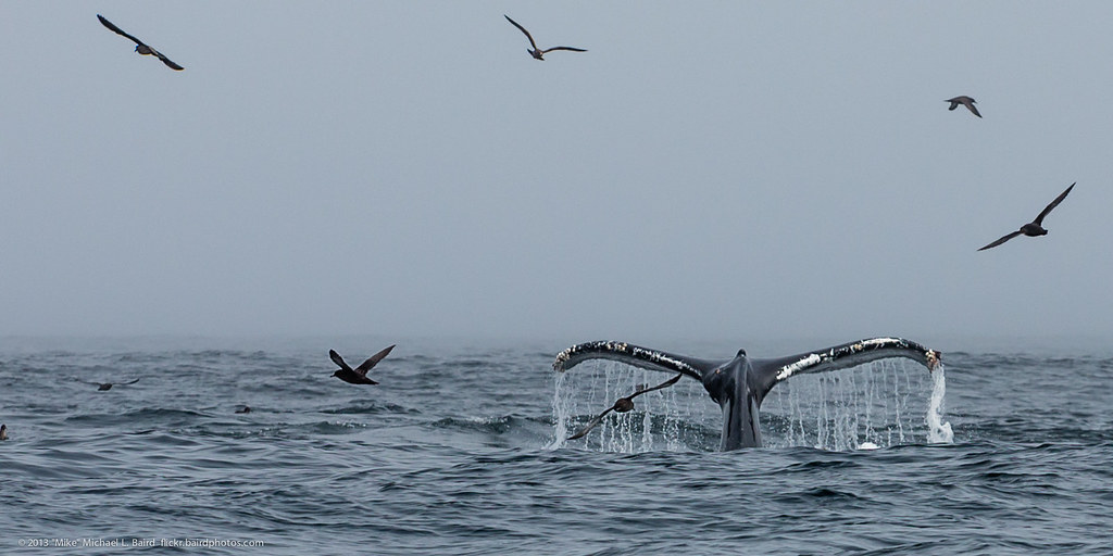 Tail Fluke on dive.  Humpback Whales, Me by mikebaird, on Flickr