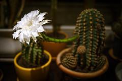 once_in_the_blue_moon (pattcatz) Tags: cactus white flower blossom bloom fotografia tamron maciej maciek kaktus kwiat biały cybulski canoneos60d kwitnący pattcatz