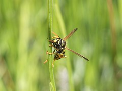 Avispa (Patataasada) Tags: macro animal bug vespa wasp bicho insecto avispa hymenoptera vespidae artrópodos himenóptero