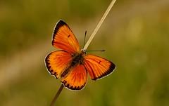 Un cromito que no tenía............ (T.I.T.A.) Tags: macro mariposa tita bolboreta lycaena lycaenavirgaureae carmensolla carmensollafotografía carmensollaimágenes
