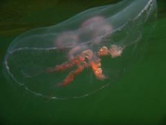 Close encounter with the jellyfish II (Basse911) Tags: autumn water suomi finland jellyfish underwater balticsea september snorkeling hanko nordic ostsee hst itmeri stersjn syksy aureliaaurita syyskuu hang meduusa ronmanet