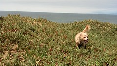 8/22/2013 Fort Funston, San Francisco CA (Play and Paws) Tags: dog dogs sfbayarea dogpack dogwalk sfpeninsula dogwalker dogwalkers doggydaycare petcare dogfriends dogcare dogpals doggroup doggyadventures playandpaws dogpros doggyoutings