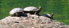 Three's a crowd in Central Park (AndrewDallos) Tags: nyc newyorkcity centralpark manhattan turtles