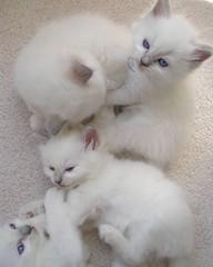 Rare Lilac Ragdoll kittens from AngelGirls (AngelGirl Ragdolls) Tags: cats beautiful virginia maryland kittens victory lilac angelic ragdolls ragdoll tory angelgirls