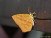 Tetragonus catamitus (Green Baron Pro) Tags: moth borneo brunei tetragonus callidulidae ulutemburong 201309