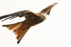 Red Kite (forbesimages) Tags: red kite
