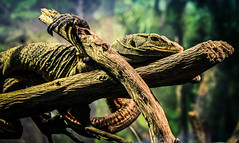 Monitor the Lizard (Bartfett) Tags: california trees plants tree green nature forest zoo los focus branch arms skin angeles reptile wildlife branches gray sharp monitor lizard claw resting habitat claws reptiles grays