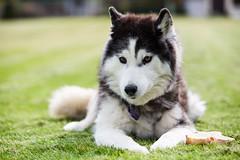 Tasha (John Sieber) Tags: dog dogs siberianhusky siberian tasha dogportrait