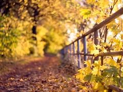 Herbst am Tegeler See (~janne) Tags: autumn berlin fence 50mm licht bokeh f14 herbst olympus zaun wetzlar tegel leitz reinickendorf kringel tegelersee manuell summiluxr e520