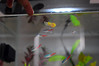 Freshwater Community 10 Gallon Tank (Melissa C. Toledo) Tags: fish water dead nice community neon hand touch fresh fishtank fishes guppy touching freshwater tetras idk neontetra neontetras communitytank freshwatertank
