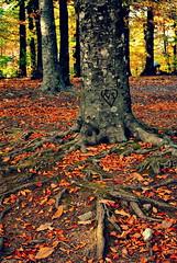 attaccamenti radicali (Claudia Gaiotto) Tags: autumn trees leaves forest roots attachment radici bowlby attaccamento ognitantoripensoallatesidilaurea