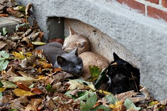 Hibernating cats (Jaedde & Sis) Tags: autumn cats leaves nap viola uffe gamewinner gurli flickrchallengegroup flickrchallengewinner herowinner pregamesweepwinner