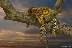 Wildlife art combo (Arno Meintjes Wildlife) Tags: wallpaper art wildlife safari leopard combo arnomeintjes