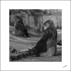 Sulkin' (Eynaud yoan) Tags: usa animals eos zoo san gorilla diego 7d l 70200 gorille
