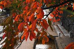 DSC07386 (Mrockdaimajin) Tags: autumn japan kyoto 京都 日本 嵐山 二条城 nijyo 堀川