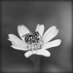 Abeille verte sur marguerite jaune... (lalie sorbet) Tags: blackandwhite india flower macro nature fleur closeup canon insect square noiretblanc 100mm squareformat insecte inde carr eos60d laliesorbet